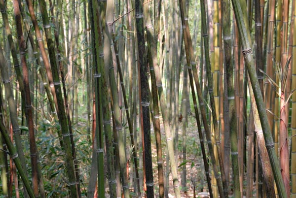 Phyllostachys glauca McClure ID =