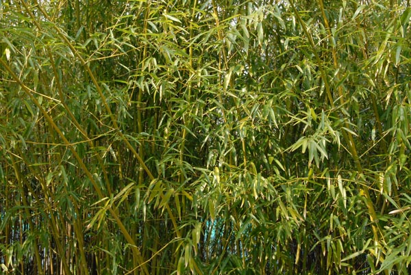 Phyllostachys rivalis ID =