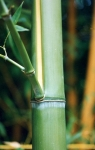 Phyllostachys viridis (R.A. Young) McClure f.houzeauana